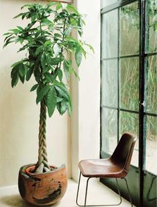 plantas para restaurant, plantas para oficina, Plantas para negocios Pachira aquatica