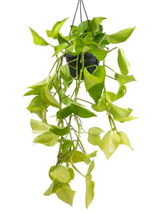 plantas para restaurant, plantas para oficina, Plantas para negocios Photus