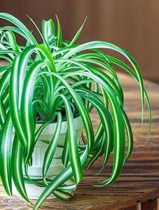 plantas para restaurant, plantas para oficina, Plantas para negocios Planta araña