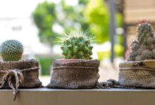 Dónde Colocar el Cactus para Asegurar un Buen Feng Shui