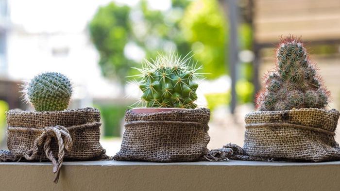 los cactus y el feng shui, cactu y feng shui