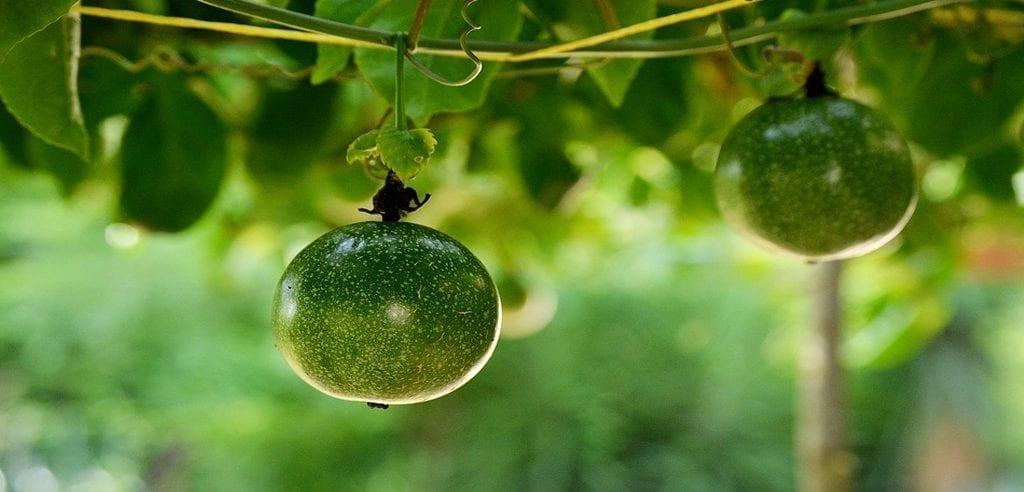 propiedades de la maracuya , agua de maracuya , maracuya flor , maracuya beneficios , maracuya propiedades , jugo de maracuya , planta de maracuya