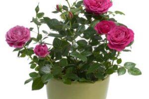 rosas pequeñas para el amor